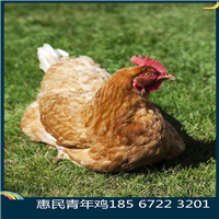 河南大午金凤青年鸡价位各日龄大午金凤青年鸡行情