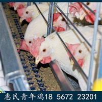 贵州遵义农大3号蛋鸡苗遵义农大3号蛋鸡青年鸡