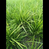 襄阳麦冬草价格