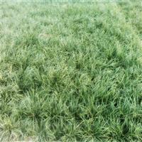 湖北襄阳麦冬草