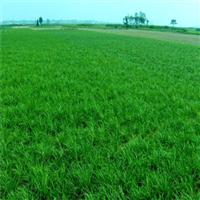 湖北襄阳麦冬草供应