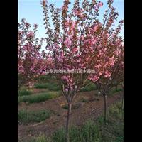 江苏樱花苗种植园