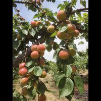 河北杏树苗种植园