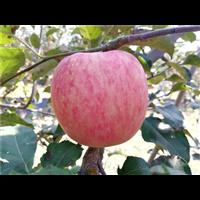 北京苹果苗种植