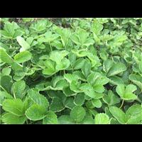 湖北草莓苗批发