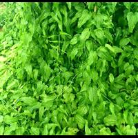 柳州百部,广西百部种子:广西百部