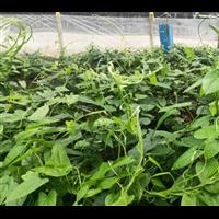 广西百部种子:百部种子