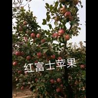 北京果树苗价格