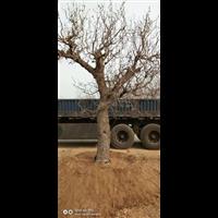 北京果树价格