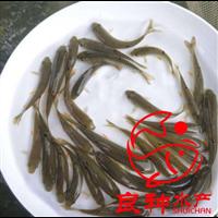 河源青竹鲩鱼苗供应