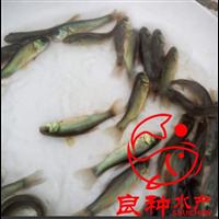 广东丁桂鱼苗养殖