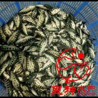 深圳淡水石斑鱼苗批发