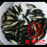 广西老虎斑鱼苗养殖