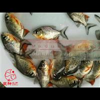清远淡水白鲳鱼苗供应