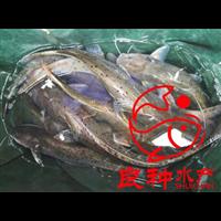 安徽叉尾鱼苗售价
