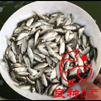 江西鲫鱼苗养殖场