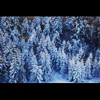 河南雪松种植雪松有哪些需要注意的