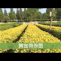 浙江哪里有黄金芽茶种苗卖