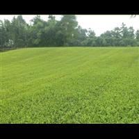 乌牛早茶苗_贵州专业种植基地