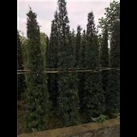 江西羅漢松種植