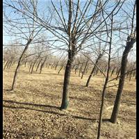 河北古枣树|河北古枣树价格