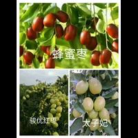 沧州盘枣树苗