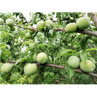 貴州蜂糖李子苗苗木培育