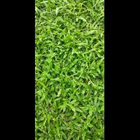 海南大叶油草