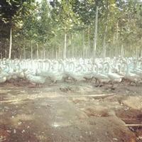 河北孵化鹅苗