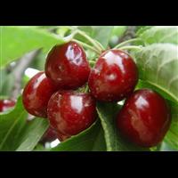 江苏车厘子樱桃苗种植价格