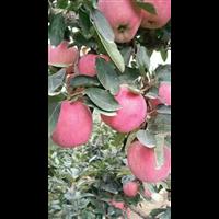 福建红星苹果种植