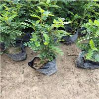 江西清香木苗種植基地
