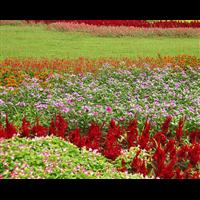 常州黑麦草草坪慕大草坪介绍及养护