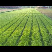 常州中华结缕草新购苗木栽培技术