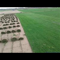 常州果岭草影响苗木移栽成活的因素