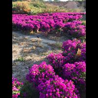 小叶紫三角梅