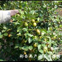 福建油茶种植Q福建三明油茶苗