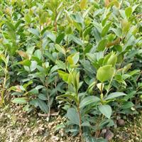 福建高产油茶嫁接苗繁育基地