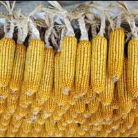 泊头市永国种植专业合作社玉米系列