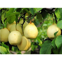 泊头市永国种植专业合作社鸭梨系列