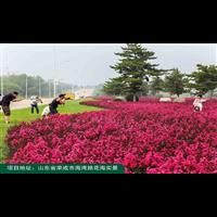 万花道矮紫薇优秀品种