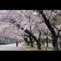 万花道春红樱盆栽