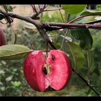 苹果苗基地批发