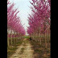 杭州巨紫�G批发