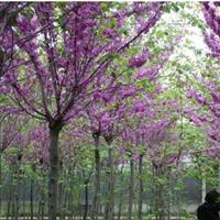 湖州巨紫�G批发