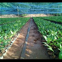 海南槟榔苗出售