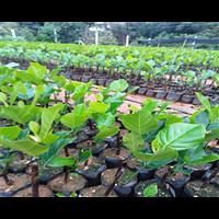 海南菠萝蜜苗批发地