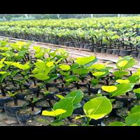 海南马来西亚菠萝蜜苗批发