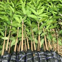广东优质芒果苗种植基地批发价格