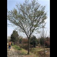 江苏榉树苗木基地